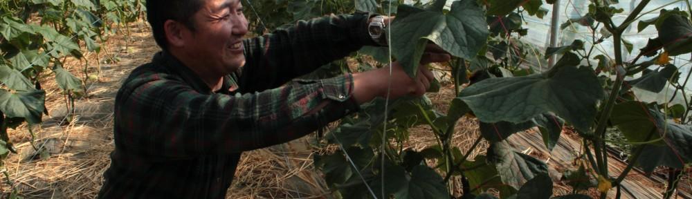 Ishii's cucumbers